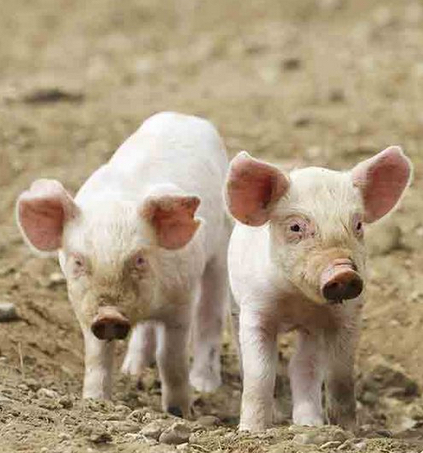 Swine fever Archives - Everything you need to know about